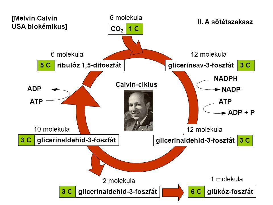 [Melvin Calvin USA biokémikus] 6 molekula. II. A sötétszakasz. CO2. 1 C. 6 molekula. 12 molekula.